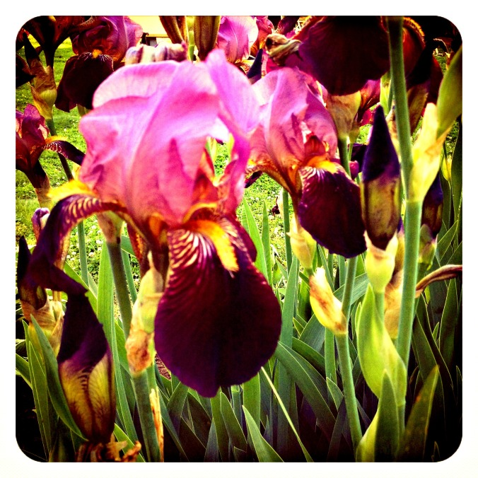 A purple iris as vibrant as Susie.
