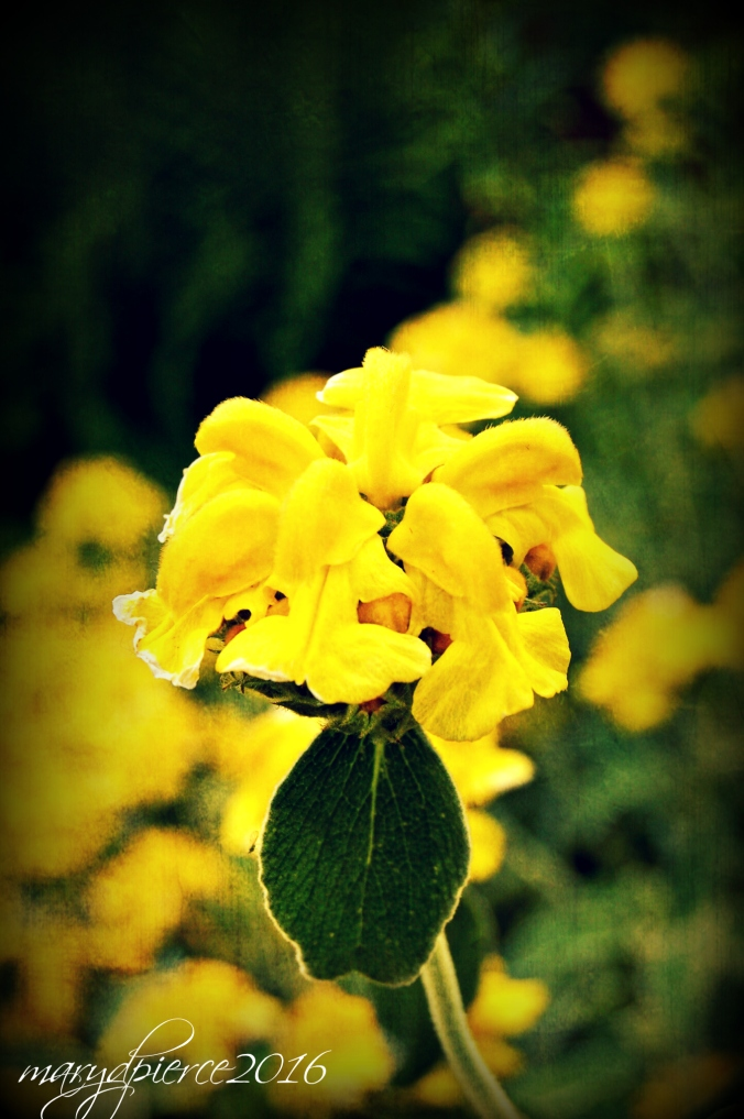 A pretty yellow flower that says heralds spring.